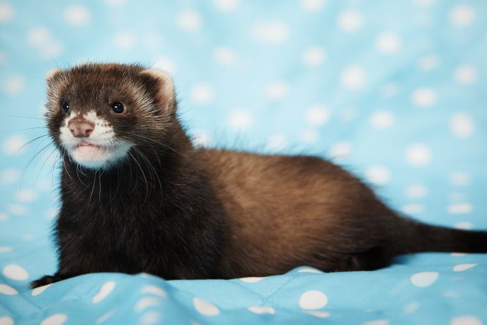 Label pea-protein cat food as not for ferrets, vet says