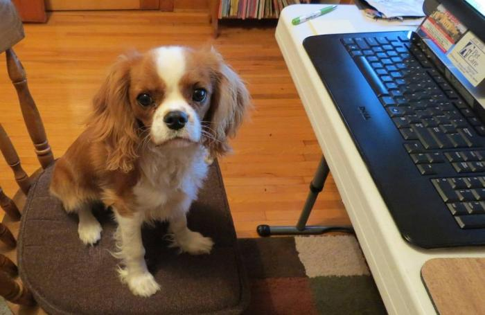Spaniel-with-computer