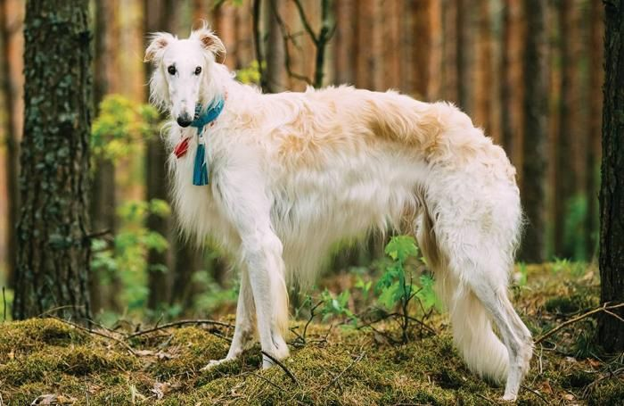 Russian borzoi 1604petrussia
