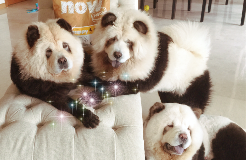 Chow Chow Dog Food At Home