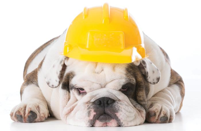 bulldog-with-safety-hat