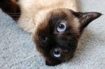 siamese-cat-face