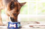 German-Shepherd-eats-dreamstime_13103889