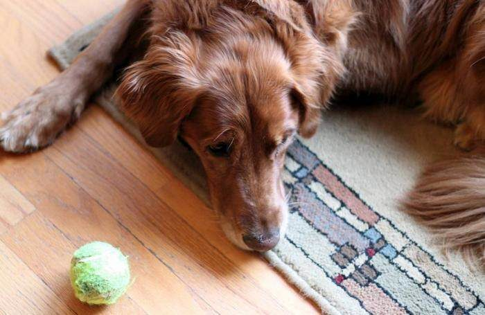golden-retriever-tennis-ball