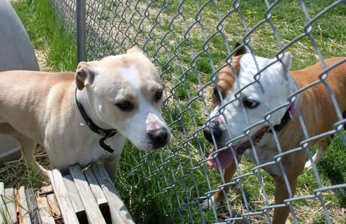 two-dogs-fence