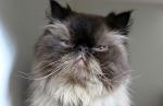 Persian-cat-face