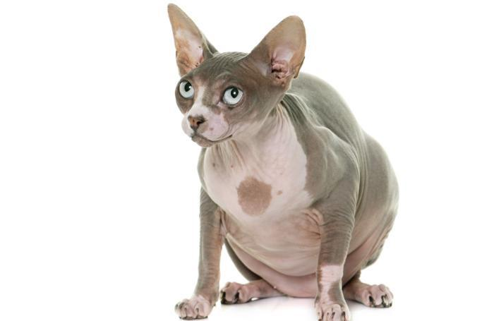 fat-cat-sphynx-obese