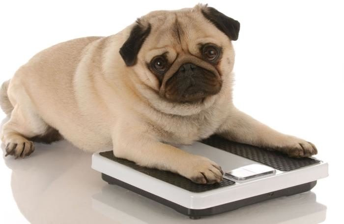 pug-dog-on-scale