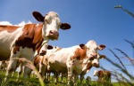 bigstock-Montbeliarde-cattle-in-the-mea-47865563