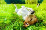 dog-rolling-in-grass