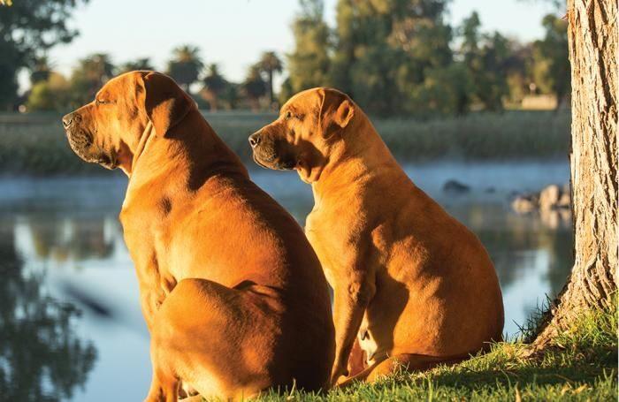 south-africa-boerboel