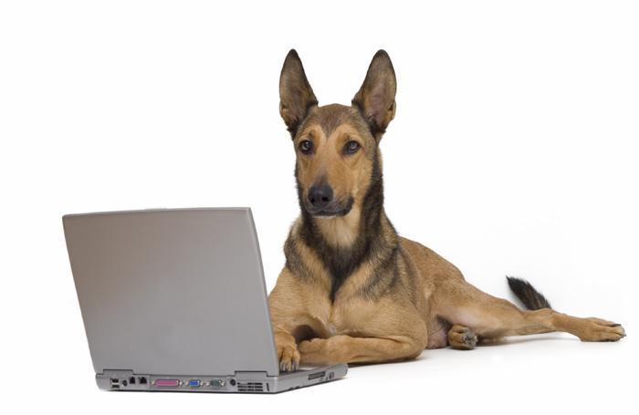 dog-laptop-Malinois