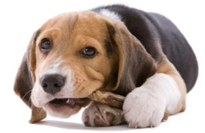 beagle-puppy-chew-treat