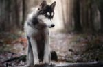husky-in-woods