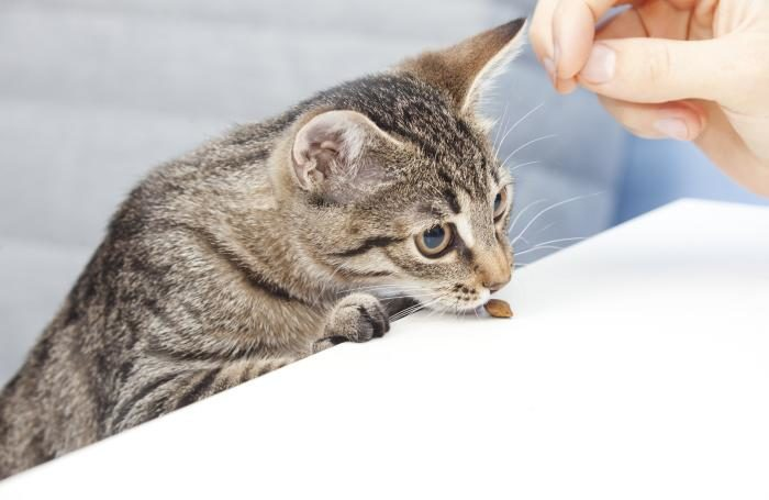 Kitten smelling pet food