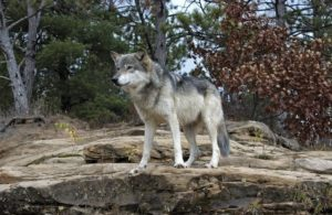 Gray wolf in the woods