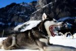 Huskie-sled-dog