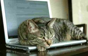 cat on laptop