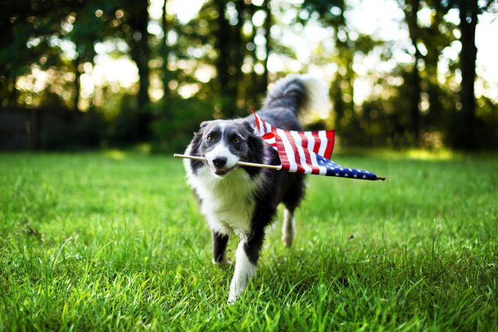 Dog-flag-usa-america