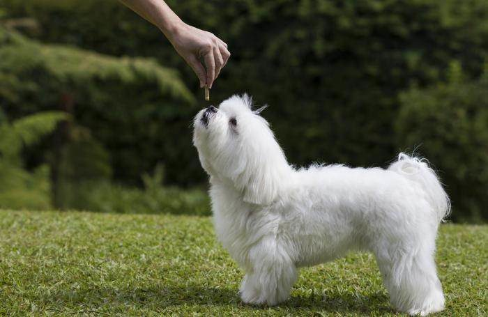hand-feeding-white-maltese-dog