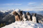 5-dogs-mountain-peak-top-snow.jpg