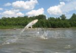 Asian-carp-river-fish.jpg