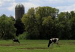 cattle-grazing-silo.jpg