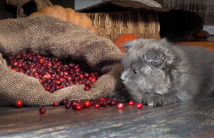 Cat-cranberries-fruit-berry