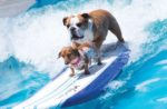 Bulldog-surfing