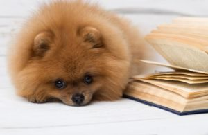 pomeranian-with-book