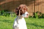spaniel-sitting-in-grass.jpg