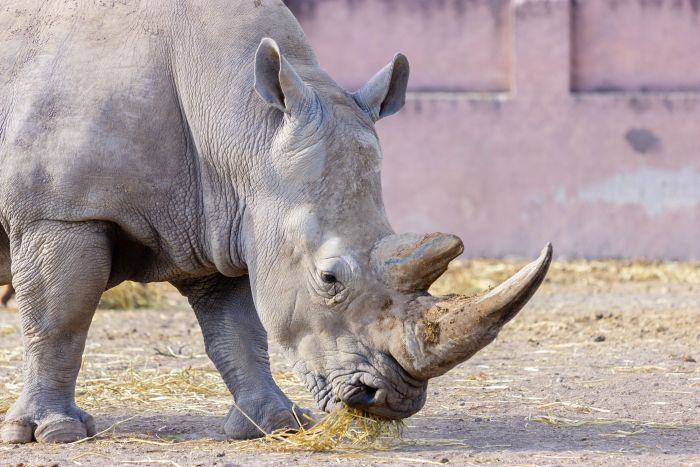 Pet meals fatty acid complement improves black rhino well being