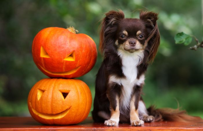 Pumpkin present in 20 % of dry pet food