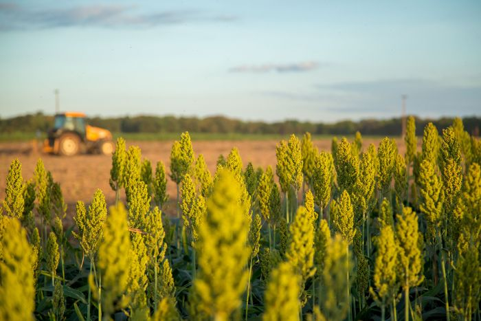 Sorghum-grain-tractor-field-farm