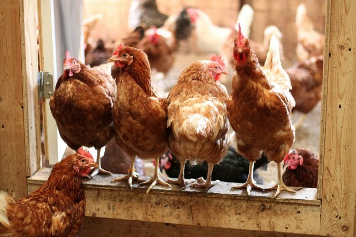 Cage-free-chickens