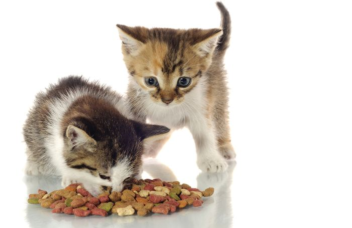 Cat-eating-kibble