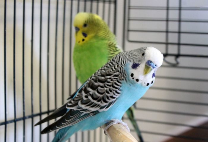 blue-and-green-parakeets.jpg