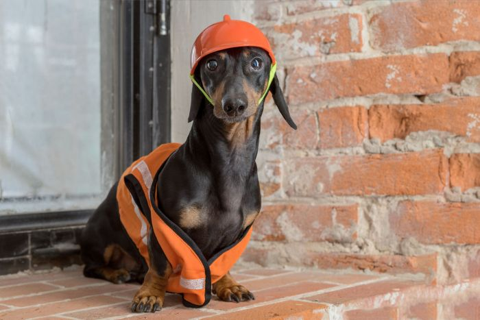 Dachshund-construction-building