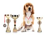 Beagle-dog-with-trophy-cups-and-medals