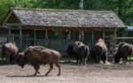 bison-farm-novel-protein.jpg