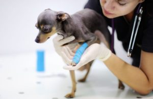 dog-chihuahua-vet-veterinarian-cast-paw.jpg