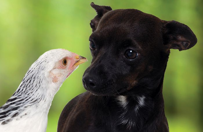 Rooster meal: Is there something new with this ingredient's use in pet meals?