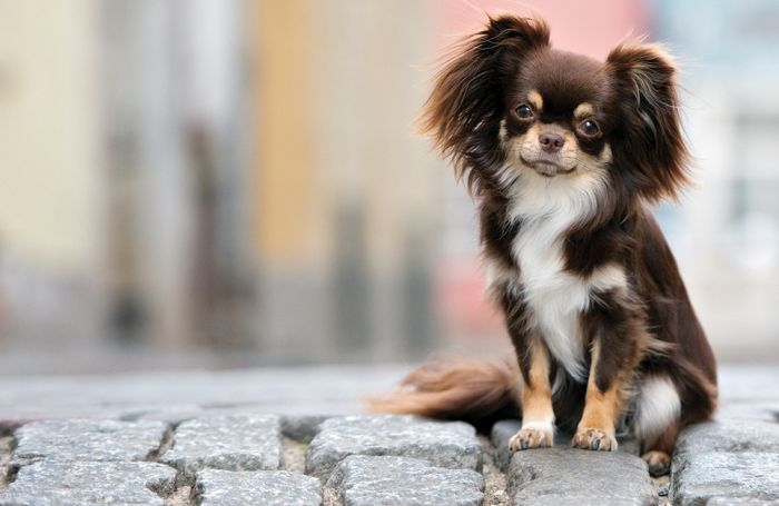 Small breed pet food changing into an enormous pet meals market