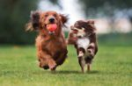 small-dogs-playing