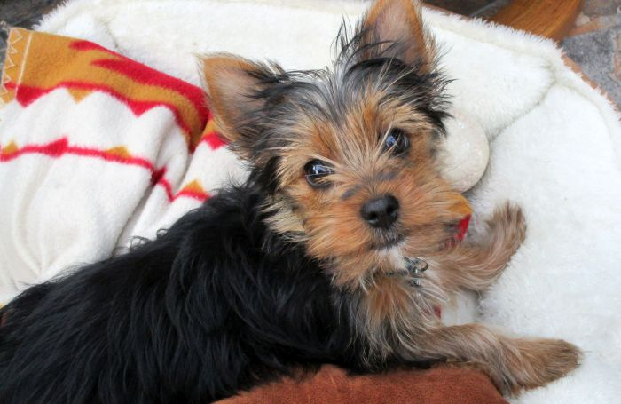 Yorkshire-terrier-small-dog