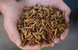 whole-dried-larvae-in-hands