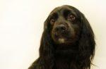 black-cocker-spaniel-dog-sad-worried.jpg