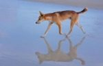 dingo-dog-Australia-beach.jpg