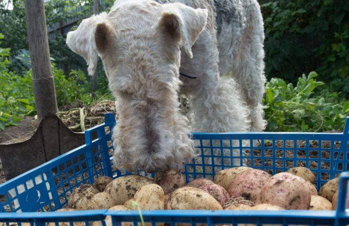 Fox terrier dog potatoes