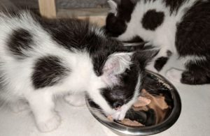 kittens-eat-bowl-wet-pet-food.jpg